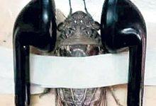 Öğretmenden Ağustos böceğine işkence!