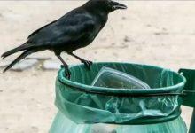 Özel eğitim ile izmarit toplayan temizlikçi kargalar